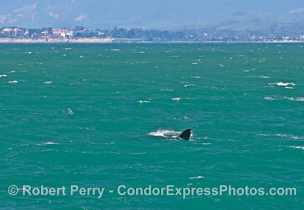 Goleta Pier is in the background as this gray whale rolls around.