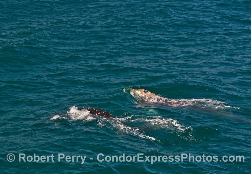 Two gray whales in choppy seas.
