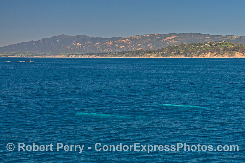 A  pair of gray whales travel just beneath the surface of the ocean near Hope Ranch, Santa Barbara.  A commercial lobster fishing boat is coming home with a load of traps as the season has just ended.