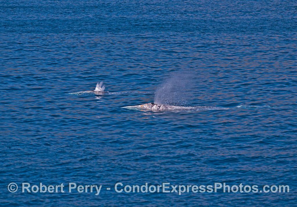 Two spouting gray whales.
