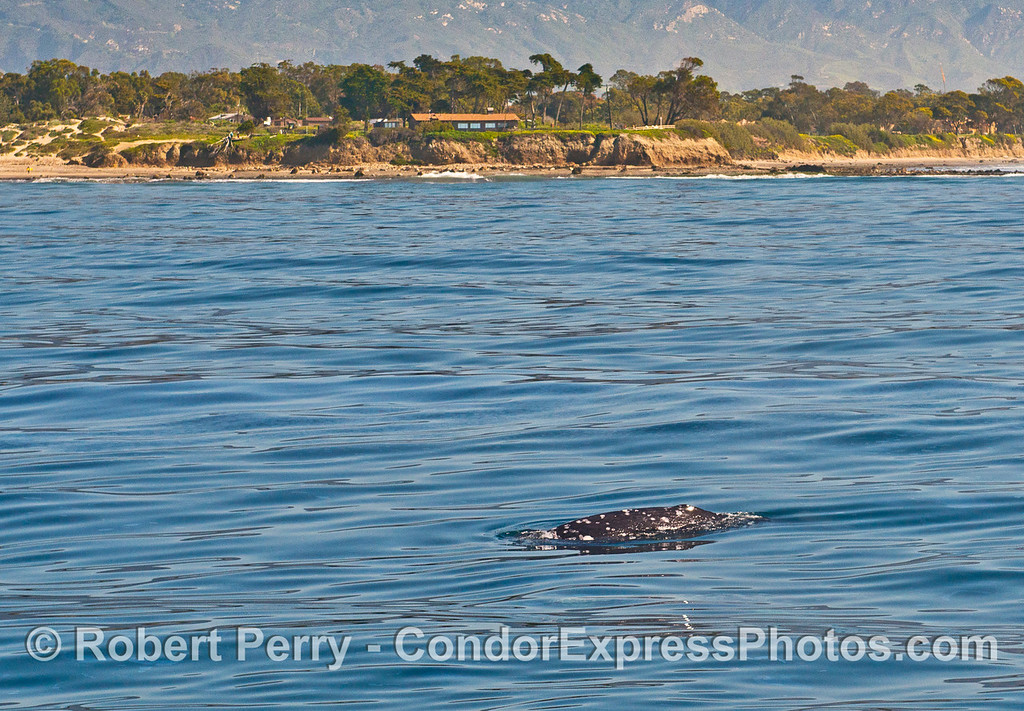 A gray whale passes by Counter Point (aka, Coal Oil Point) west of Goleta.  This one of a few gray whale census stations.