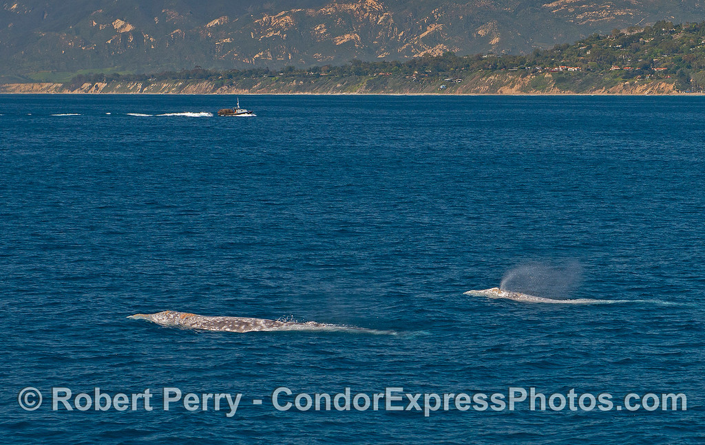 A  pair of gray whales near Hope Ranch, Santa Barbara.  A commercial lobster fishing boat is coming home with a load of traps as the season has just ended.
