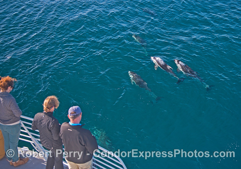 Whale lovers enjoy a close up and personal view of Pacific white-sided dolphins.