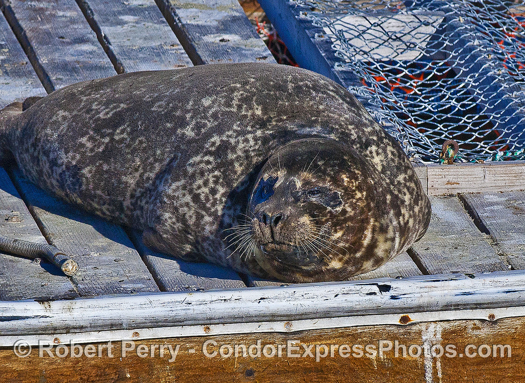 A Pacific harbor seal is shown starting to moult around the head.