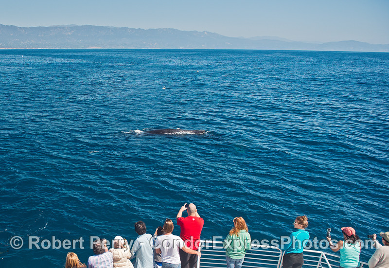 Image 2 of 2:  A humpback whale and its fan club.