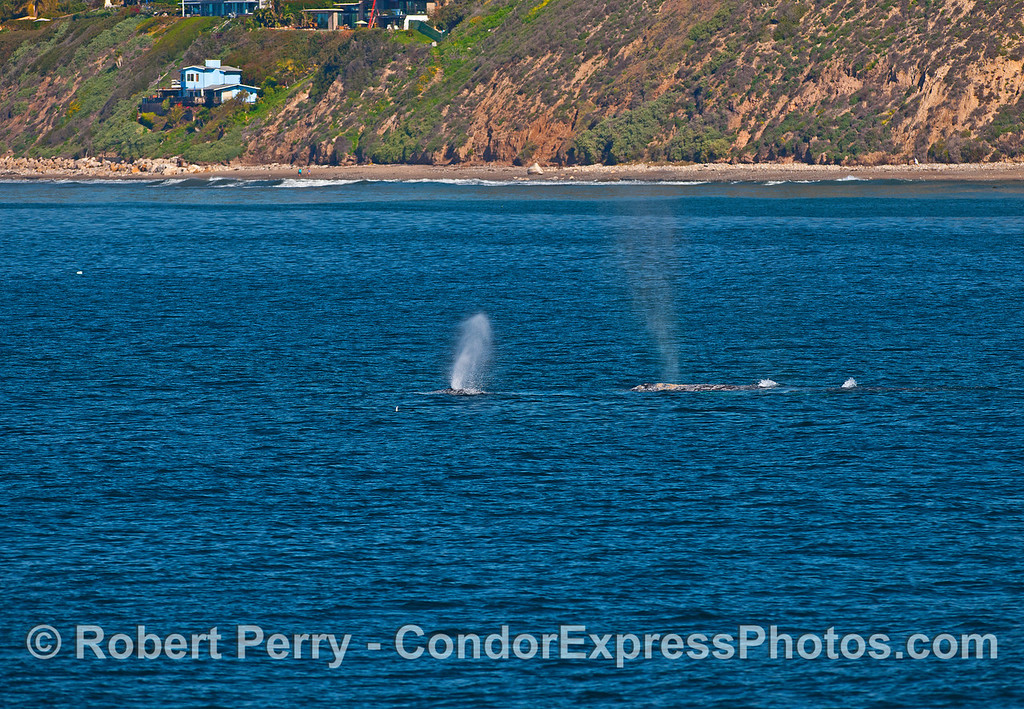 Coastline of western Santa Barbara and two gray whales heading to Alaska.