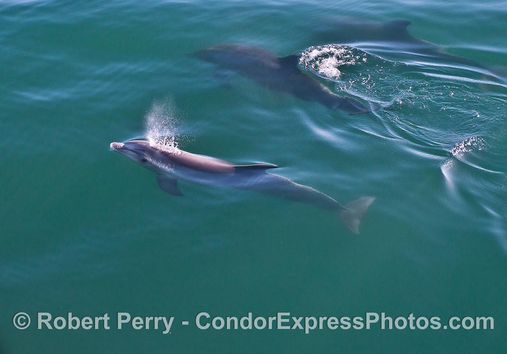 Inshore bottlenose dolphins.