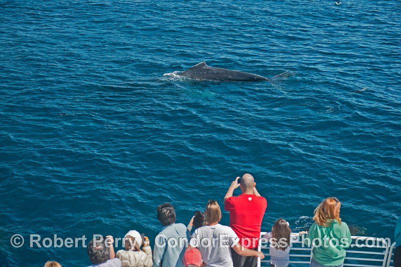 Image 1 of 2:  A humpback whale and its fan club.