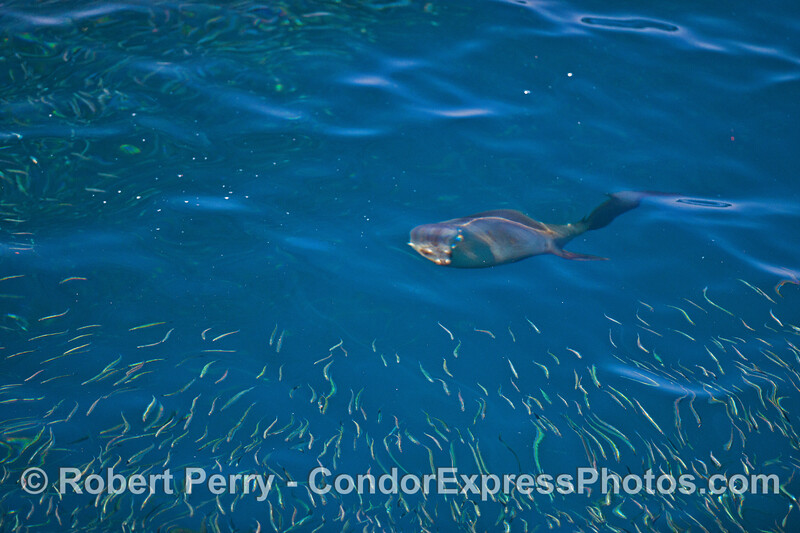 Image 1 of 3:  a California sea lion attacks a large school of northern anchovies.