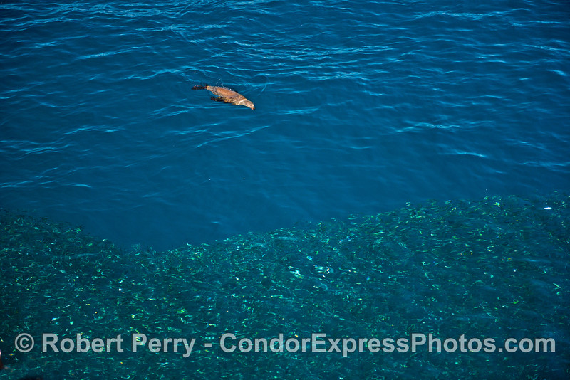 Image 2 of 3:  a California sea lion attacks a large school of northern anchovies.