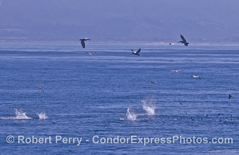 Pelicans crash and Brandt's cormorants swim for cover as they work a northern anchovy bait ball hot spot.