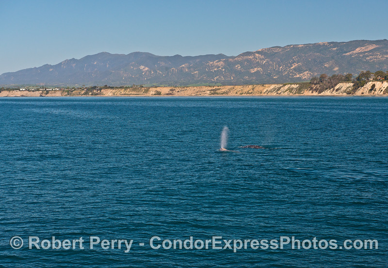 Two northbound gray whales with More Mesa in the background.