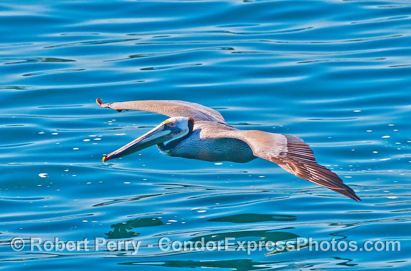 Brown pelican soaring across the glassy ocean surface.