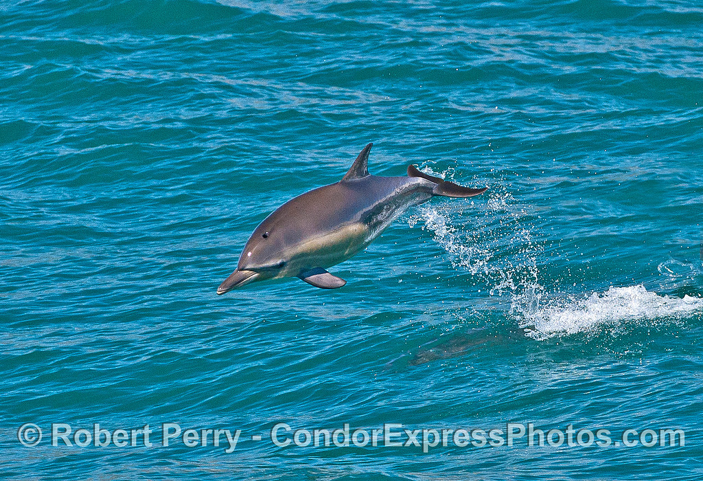 Image 1 of 2 in a row:  a long-beaked common dolphin leaps.