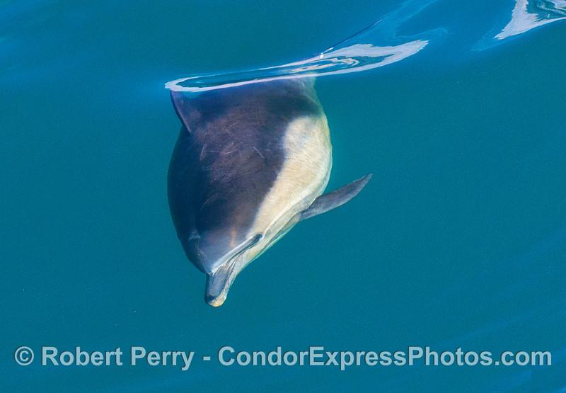 Close up look at a stocky bull long-beaked common dolphin.