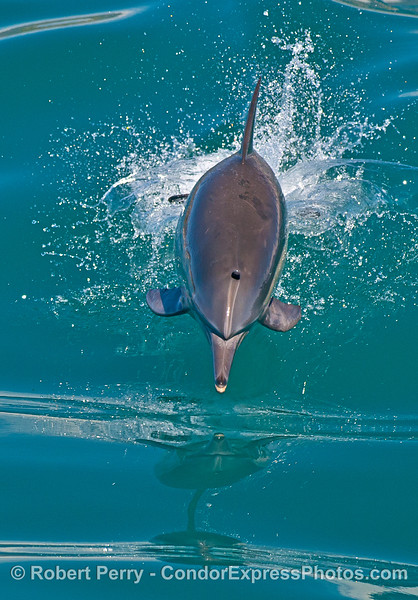 Vertical crop:  leaping long-beaked common dolphin.