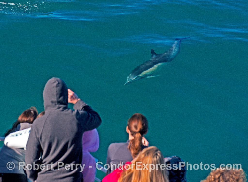 A curious long-beaked common dolphin.
