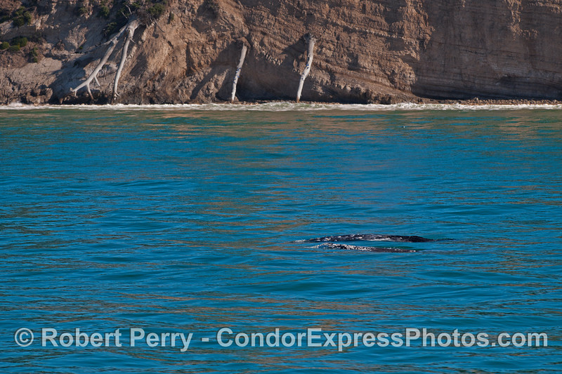 Two gray whales swim close to the beach and sea cliffs.
