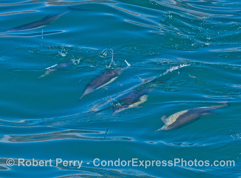 Image 2 of 2: a group of long-beaked common dolphins sends anchovies flying as they hunt while surfing.