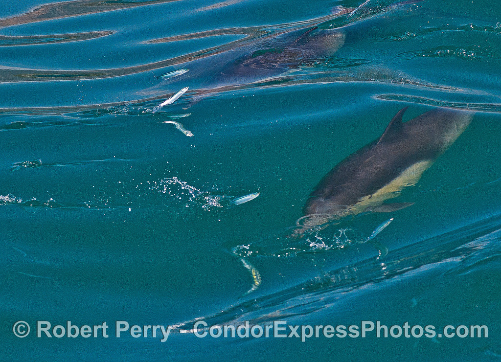 Image 1 of 2: a group of long-beaked common dolphins sends anchovies flying as they hunt while surfing.