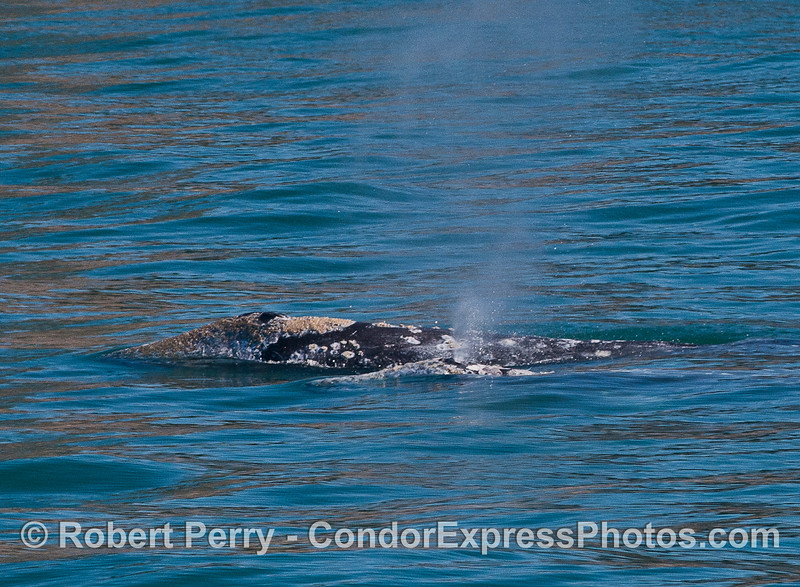 Image 1 of 2:  two gray whales side by side.