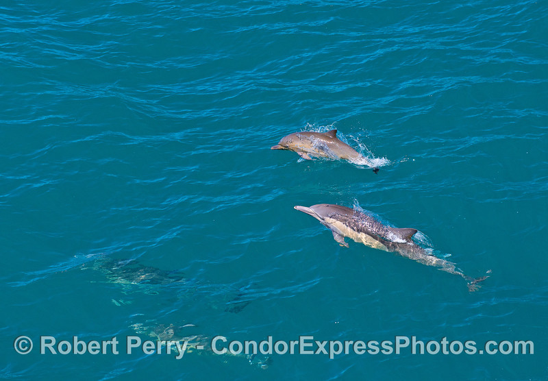 A mother long-beaked common dolphin and her calr.