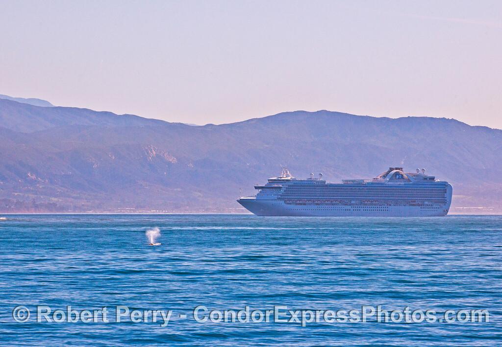 Princess cruise ship and gray whale spout - Santa Barbara.