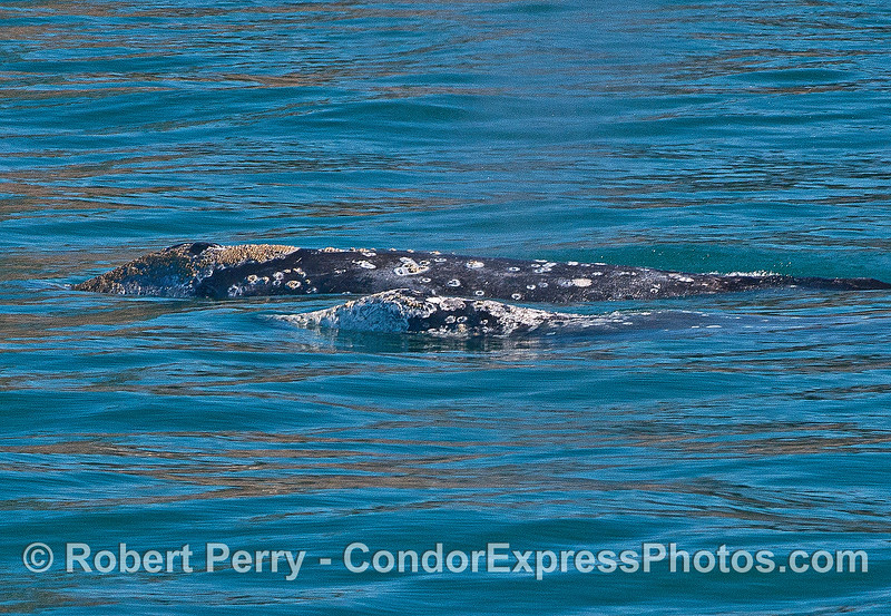 Image 2 of 2:  two gray whales side by side.