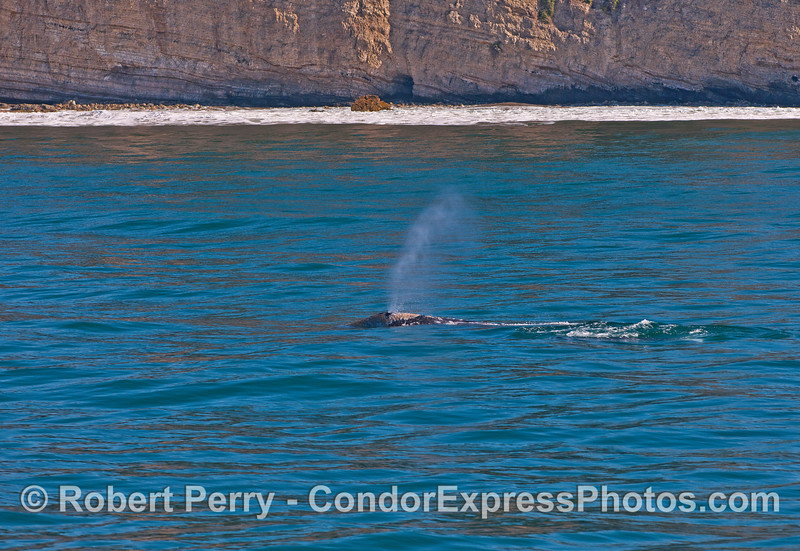 A sunny day with a northbound gray whale passing along the sea cliffs on the Santa Barbara coast.