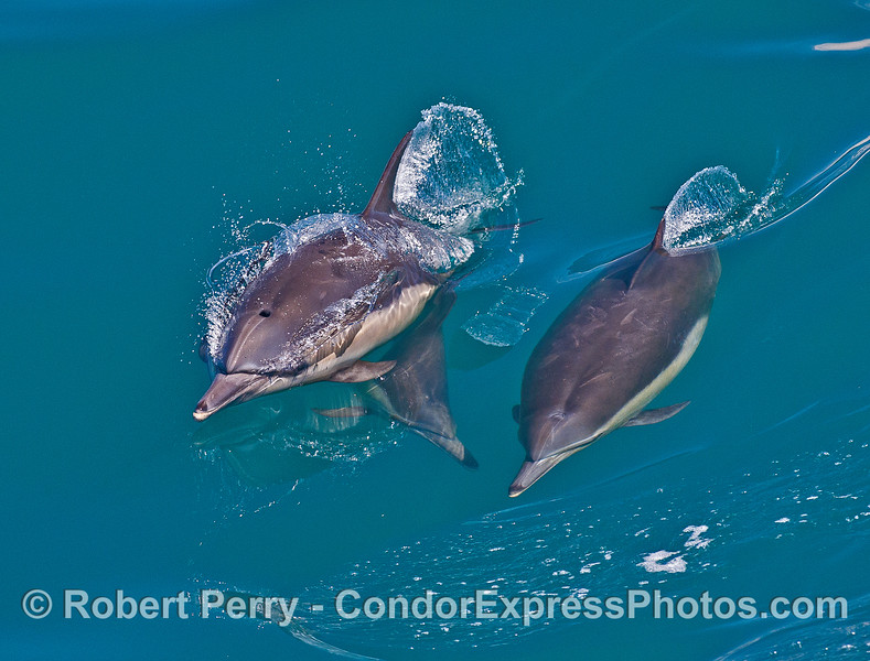 A trio of long-beaked common dolphins.