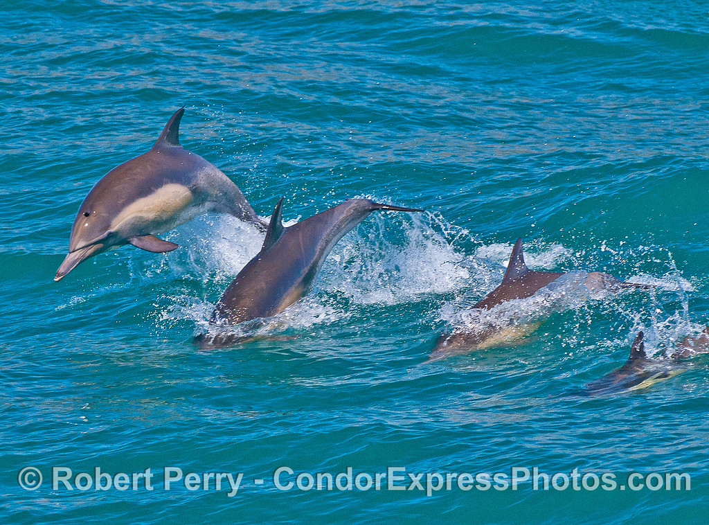 A long-beaked common dolphin leap sequence.