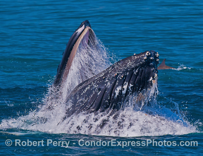 High speed shutter captures streams of water dripping off the baleen and numerous anchovies escaping to the left.
