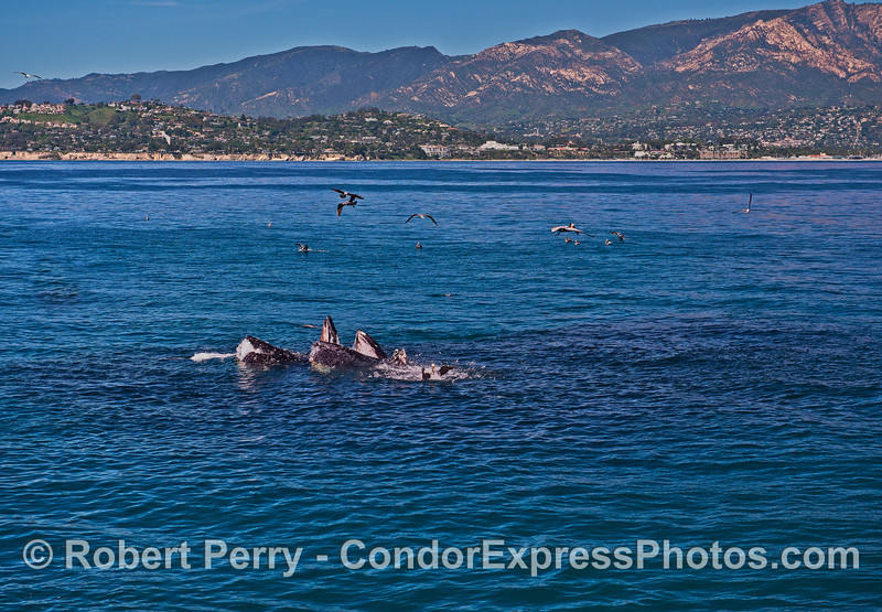 Mouths wide open - Santa Barbara.