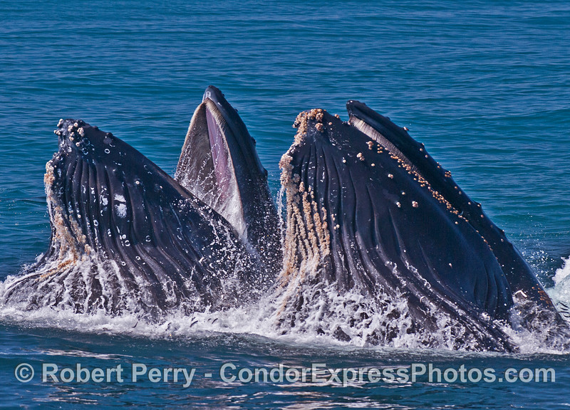 Surface lunge-feeding humpback whales.  Mouths are showing baleen plates.  The left whale is showing the pink soft palate of the roof of its mouth.   Ventral groove blubber is expanded and the gular pouches are full of seawater and anchovies.