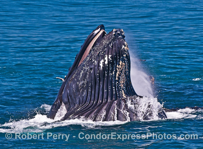 A smokin' humpback ejects water from its mouth during the final stages of a surface lunge feeding event.