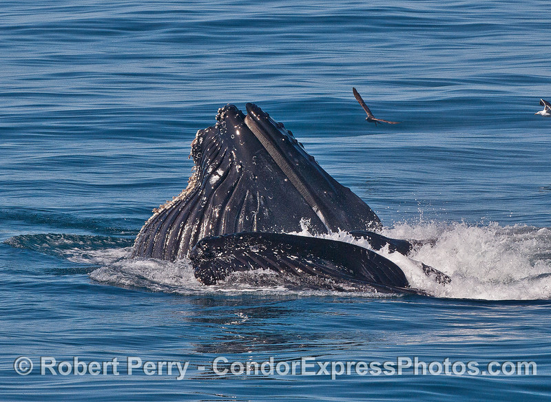 """Ond of the two feeding humpbacks almost looks like its """"smiling.""""   It's gular pouch is enormously distended."""