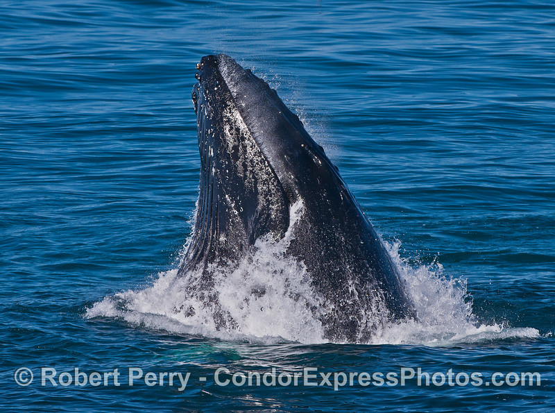 A side view of a lunge feeding humpback whale with water spilling out of the closed mouth.