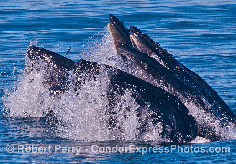 Three surface lunge-feeding humpback whales.