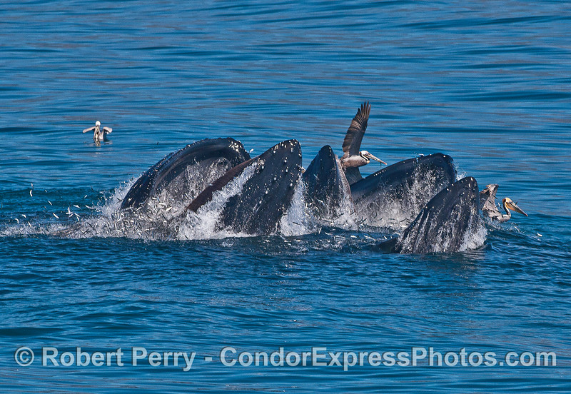 Brown pelicans fly away from the impact zone as a trio of surface lunge feeding humpback whales break the surface together.  Hundreds of escaping anchovies can be seen.