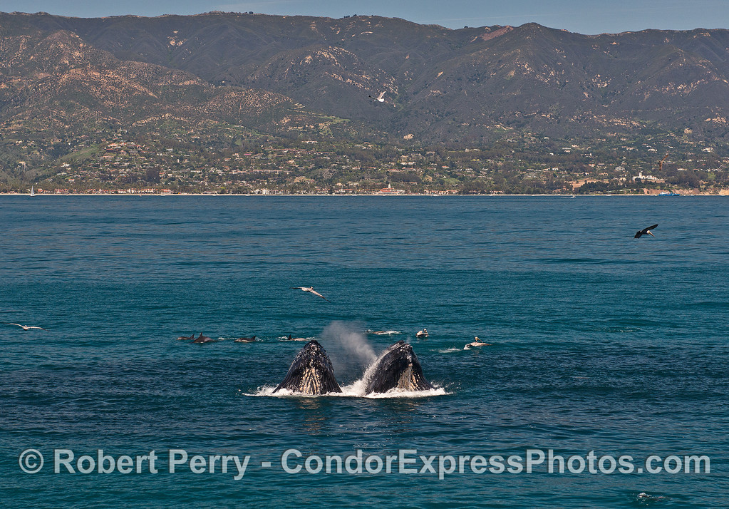 More humback lunge-feeding near Santa Barbara, California.