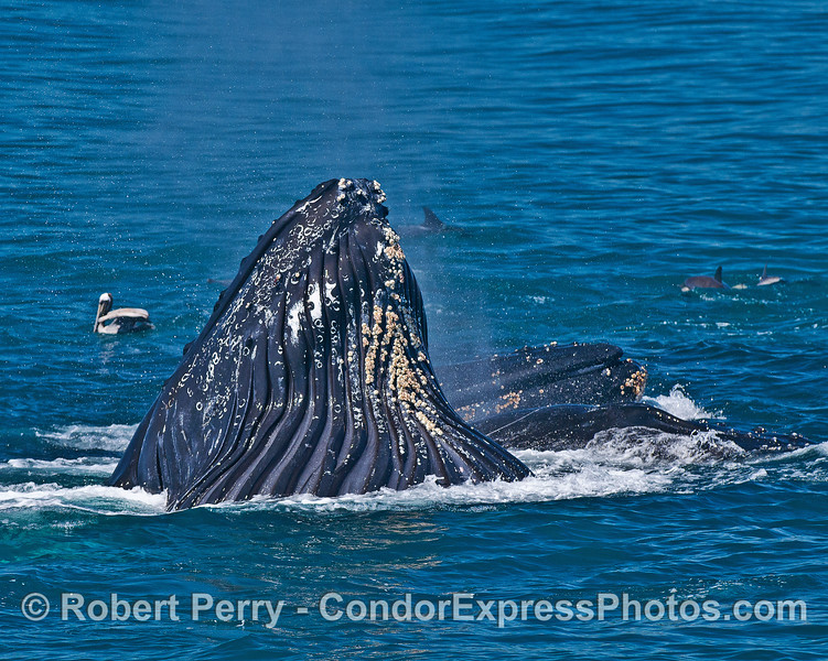 A trio of surface lunge feeding humpback whales.