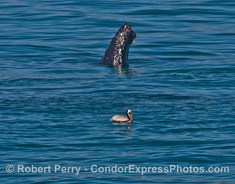 Humpback spyhop with brown pelican.