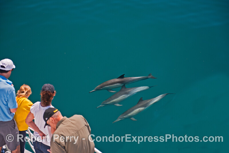 A trio of friendly long-beaked common dolphins.