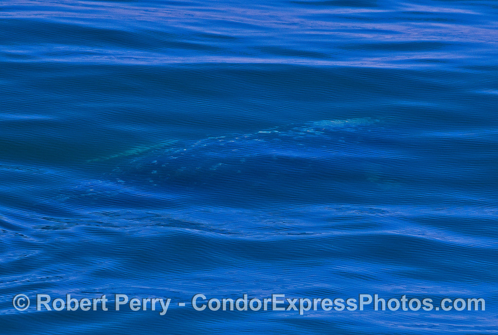 Gray whale under the waves.