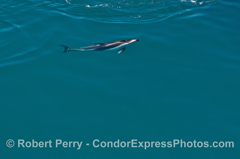 The striking black and white color of a  lone Pacific white-sided dolphin is seen under the surface.