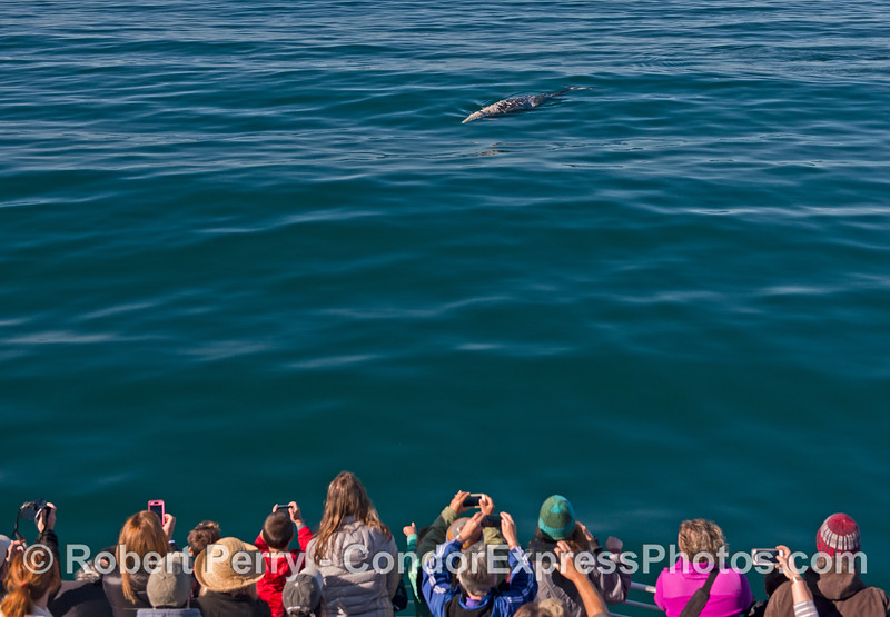 Cell phone cameras go crazy as a friendly gray whale does a U-turn and heads for the boat.
