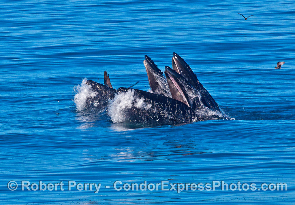 Three humpback whales surface lunge feeding in unison.  In the back, it looks like a pelican has been caught in the humpback's mouth.  Photo images immediately after this shot show that the bird was in the water, close to the whale's mouth, but not inside it.