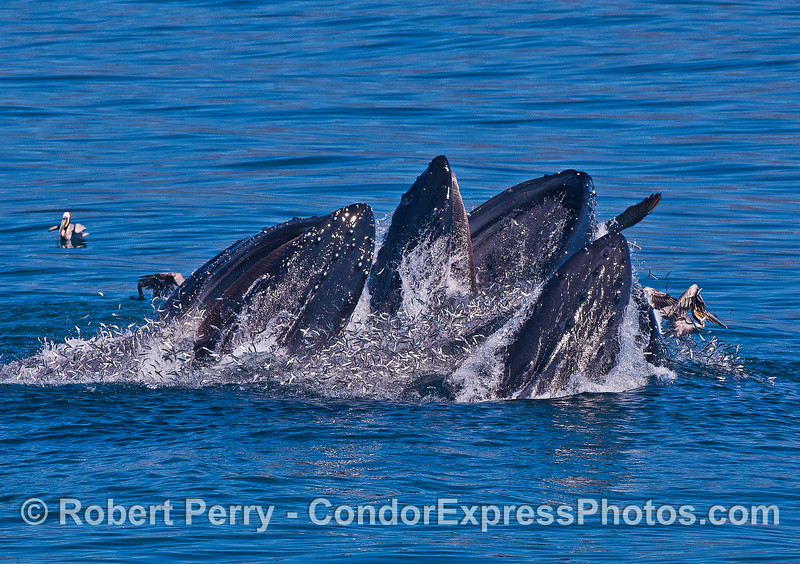 Countless lucky northern anchovies spill from the jam-packed mouths of these surface lunge feeding humpback whales.
