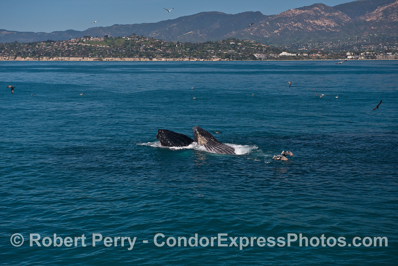 Two humpback whales lunge just offshore of the Mesa - Santa Barbara California.