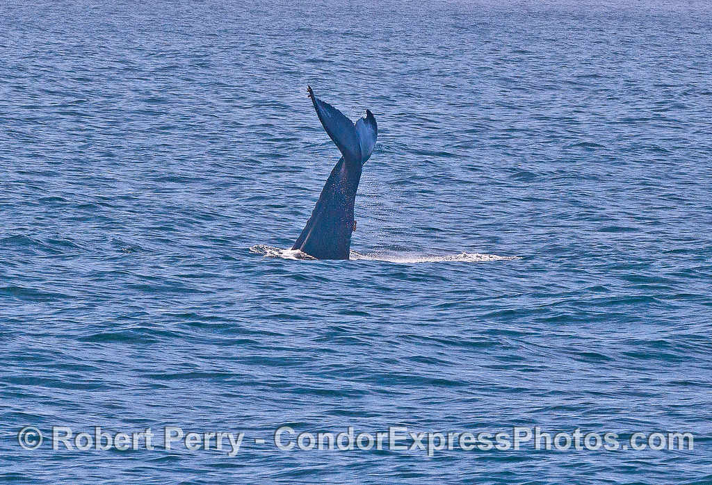 Image 2 of 2:  A lone humpback threw its tail multiple times and amazed us all.